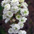 Spiraea prunifolia  Avtor: zupka rastline.mojforum.si