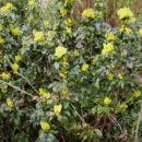 Mahonia aquifolium- Mahonija  Avtor: katrinca, rastline.mojforum.si