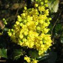 Mahonia aquifolium- Mahonija Avtor: zupka rastline.mojforum.si