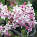 Viburnum bodnantense - Brogovita     Avtor: zupka  rastline.mojforum.si