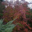 Viburnum bodnantense - Brogovita(jeseni)     Avtor: zupka  rastline.mojforum.si