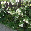 Viburnum opulus - Brogovita Avtor: katrinca,  rastline.mojforum.si