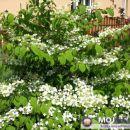 Viburnum plicatum  - Brogovita  Avtor: Roža rastline.mojforum.si