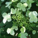 Viburnum  - Brogovita Avtor: linda rastline.mojforum.si