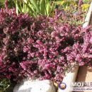 Erica carnea - Resa                                       Avtor:Roža rastline.mojforum.si