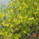 Forsythia - Forsitija (Živa meja)  Avtor: muha rastline.mojforum.si