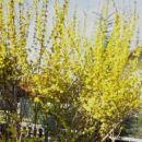 Forsythia - Forsitija  Avtor: katrinca  rastline.mojforum.si