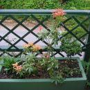 Pieris japonica - japonski pieris, Avtor: romana, rastline.mojforum.si