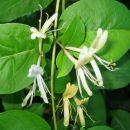 Lonciera japonica - Kosteničevje, kovačnik, Avtor: zupka,   rastline.mojforum.si