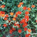 Helianthemum - Sončece Avtor: katrinca  rastline.mojforum.si