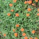 Helianthemum - Sončece Avtor: Gretka* rastline.mojforum.si
