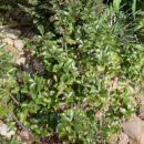 Ilex - Bodika, Avtor: katrinca, rastline.mojforum.si