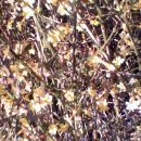 Jasminum nudiflorum  -Goli, pozimni jasmin (na koncu cvetenja) Avtor: katrinca, rastline.