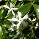 Jasminum - Jasmin Avtor: nsns rastline.mojforum.si