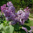 Syringa - Lipovka, španski bezeg Avtor: magnolija www.rastline.mojforum.si