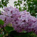 Syringa - Lipovka, španski bezeg Avtor: Roža www.rastline.mojforum.si
