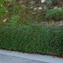 Cotoneaster - Panešpljica Avtor: muha rastline.mojforum.si