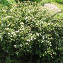 Cotoneaster - Panešpljica Avtor: magnolija rastline.mojforum.si