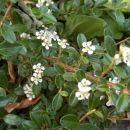 Cotoneaster - Panešpljica Avtor: katrinca rastline.mojforum.si