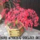 Acer disectum Garnet - javor Avtor: Romana rastline.mojforum.si