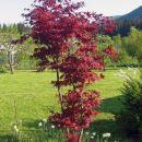 Acer palmatum - Pahljačasti javor Avtor: zupka rastline.mojforum.si