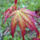 Acer palmatum 'Katsura'  Avtor: zupka rastline.mojforum.si