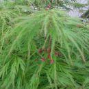 Acer - Javor Avtor: Gretka* rastline.mojforum.si