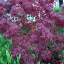Acer palmatum - Pahljačasti javor Avtor: katrinca rastline.mojforum.si
