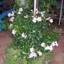 Pandorea jasminoides - jasminova troba Avtor: potonka rastline.mojforum.si