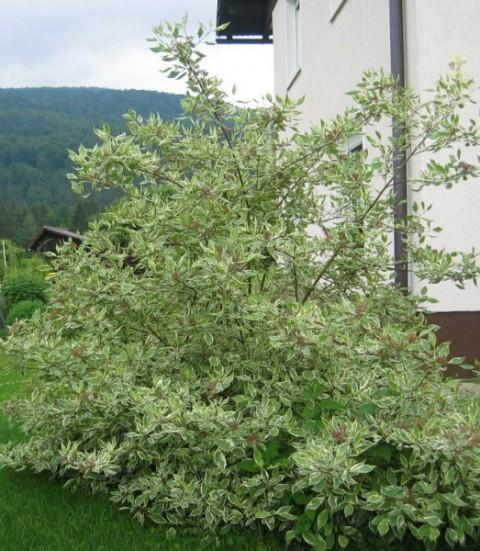 Cornus alba sibirica- Dren, svib(poletje), Avtor: zupka, rastline.mojforum.si
