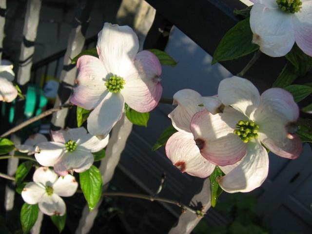 Cornus - Dren, Svib Avtor: potonka rastline.mojforum.si