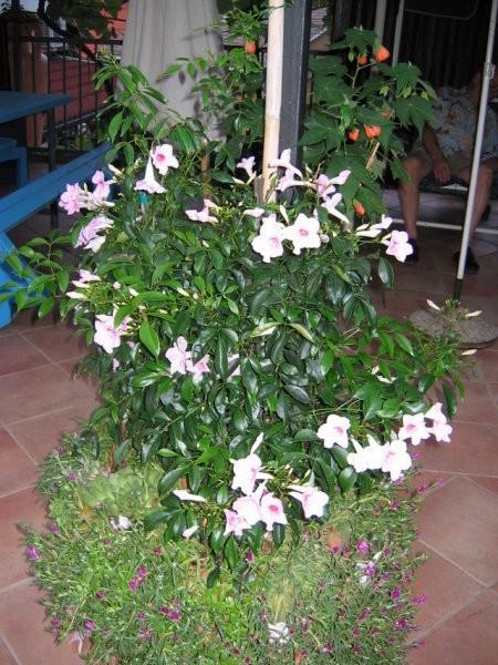 Pandorea jasminoides Avtor: potonka rastline.mojforum.si