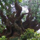 Drevo iz Južne Afrike