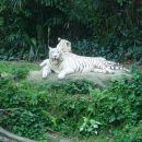 Tile beli tigri so še posebej redki. Menda jih uspešno plodijo v ujetništvu.