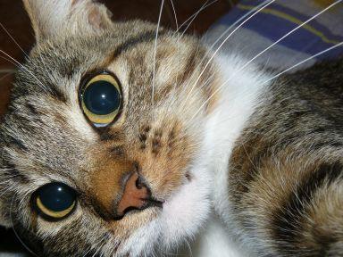 Attila, naš mali razbojnik (mladiček v telesu 2,5 let starega mačkona :) )