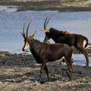 Sabljasta antilopa