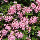 Dlakavi sleč večina planincev imenuje rododendron, po imenu za rod v latinščini