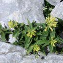 Rumeno milje je predvsem rastlina skalnih razpok