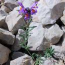 Alpska madronščica s čudovito barvno kombinacijo poživlja sivino grušča