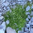 Resasta peščenka s svojimi stebelci tvori rahlo blazinico med grobim kamenjem