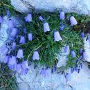 Trebušasta zvončnica pogosto raste v skalnih razpokah