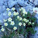 Sinjezeleni kamnokreč je značilna blazinasta rastlina visokogorja