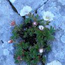 Clusijev petoprstnik je bližnji sorodnik triglavske rože