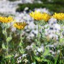 Kosmata škržolica ima liste in stebla porasle z dolgimi dlačicami