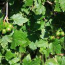 Skalno grozdičje raste po gorskih gozdovih, zrele jagode so živo rdeče barve