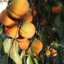 kaki -rajski sadež