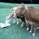 Živali pasme limusin