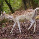 Jelen, bambi
