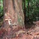 Goba na drevesu