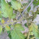 Tomato Russet Mite - sušenje listov